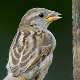 House Sparrow Bird Facts | Passer Domesticus - The RSPB