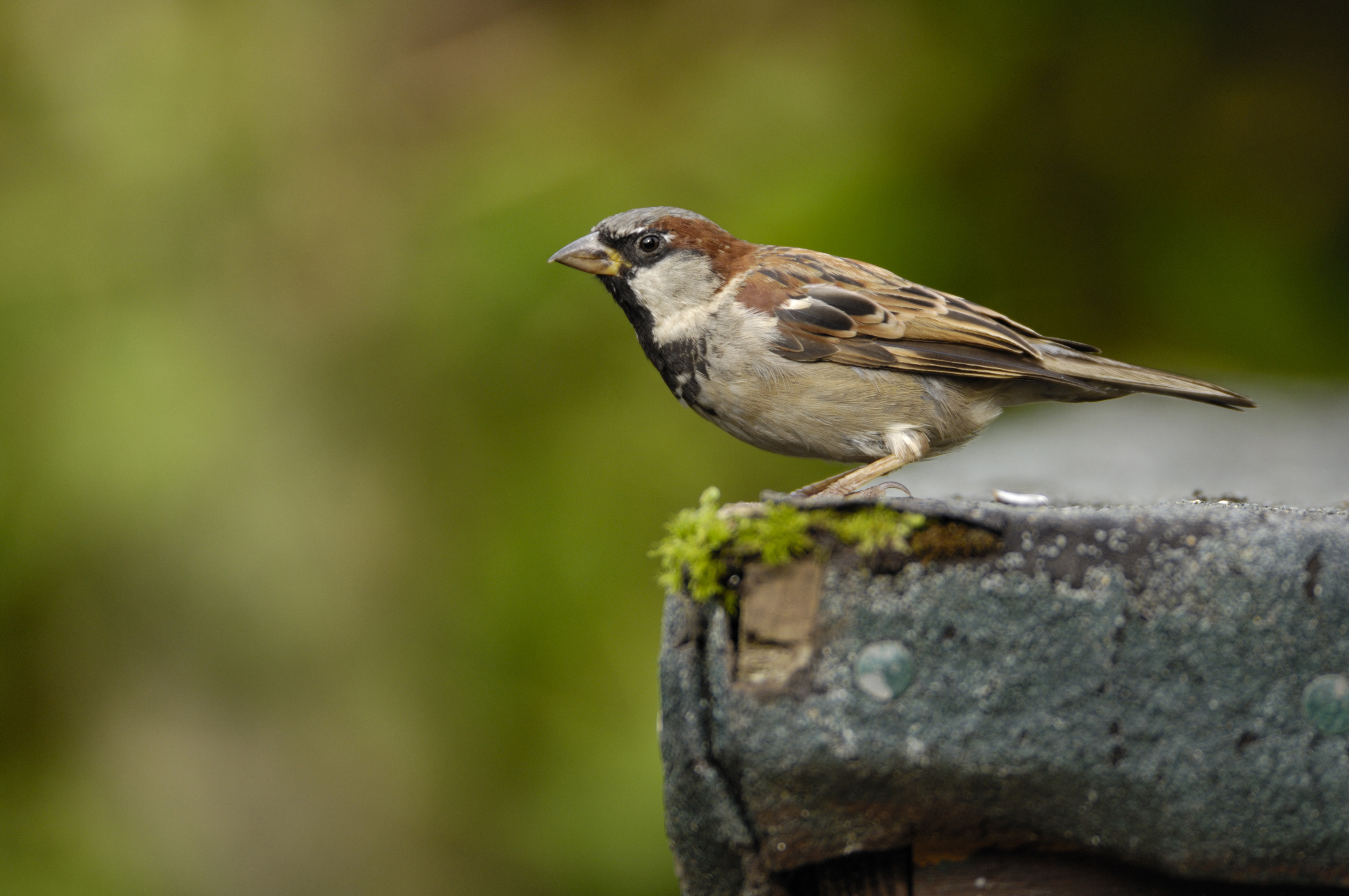 How can I Stop Birds Nesting in my Roof? - The RSPB