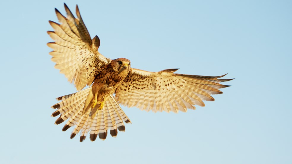 Kestrel Falco tinnunculus, female in flight/hovering in early morning light, Hungary