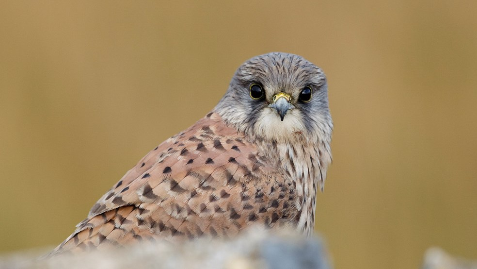 Kestrel looking at camera