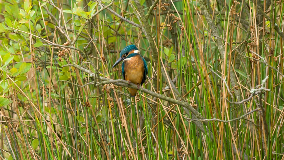 Kingfisher Alcedo atthis, perched on a branch in amongst reeds, Co. Durham