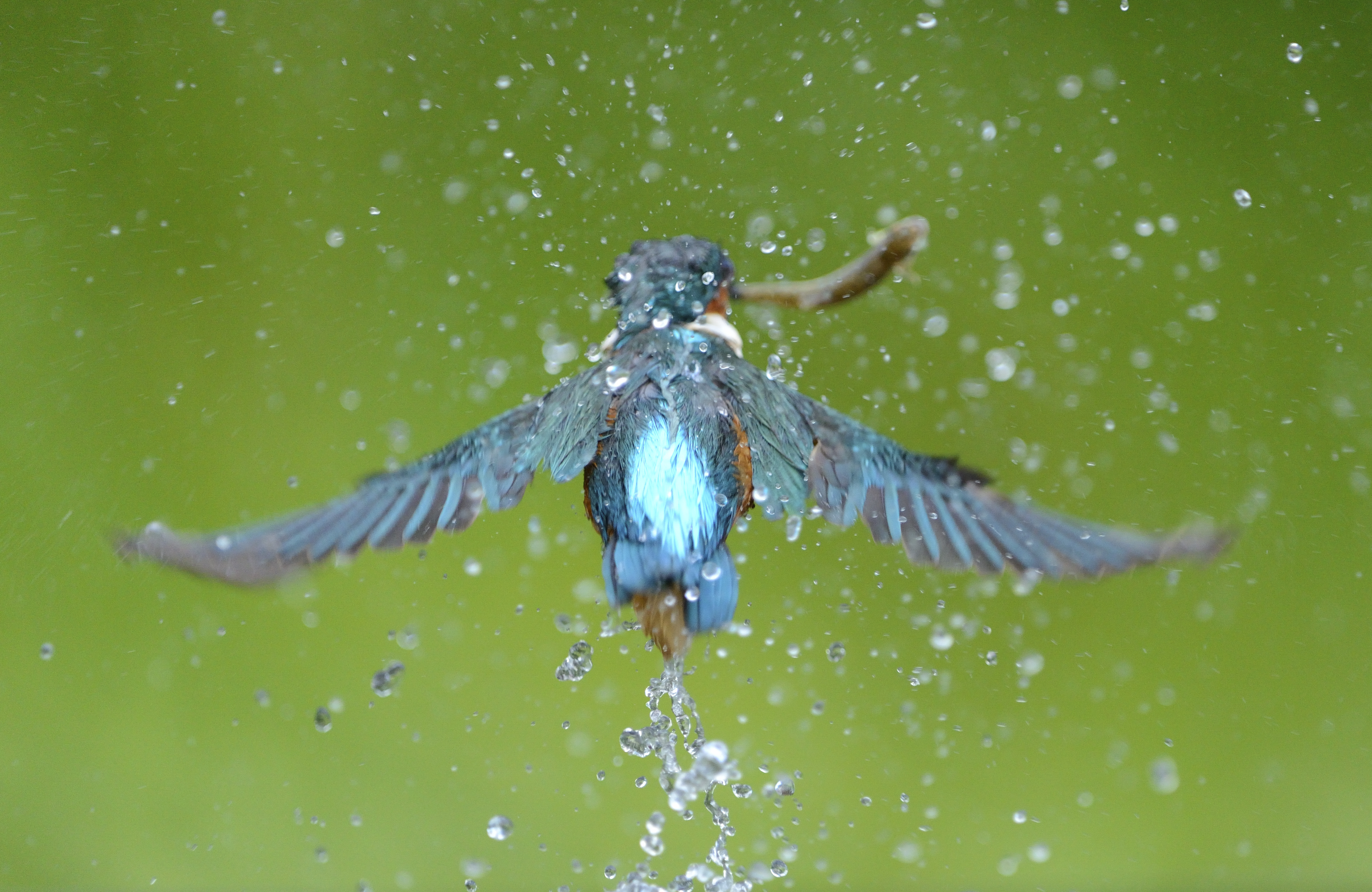 Kingfisher Threats - The RSPB