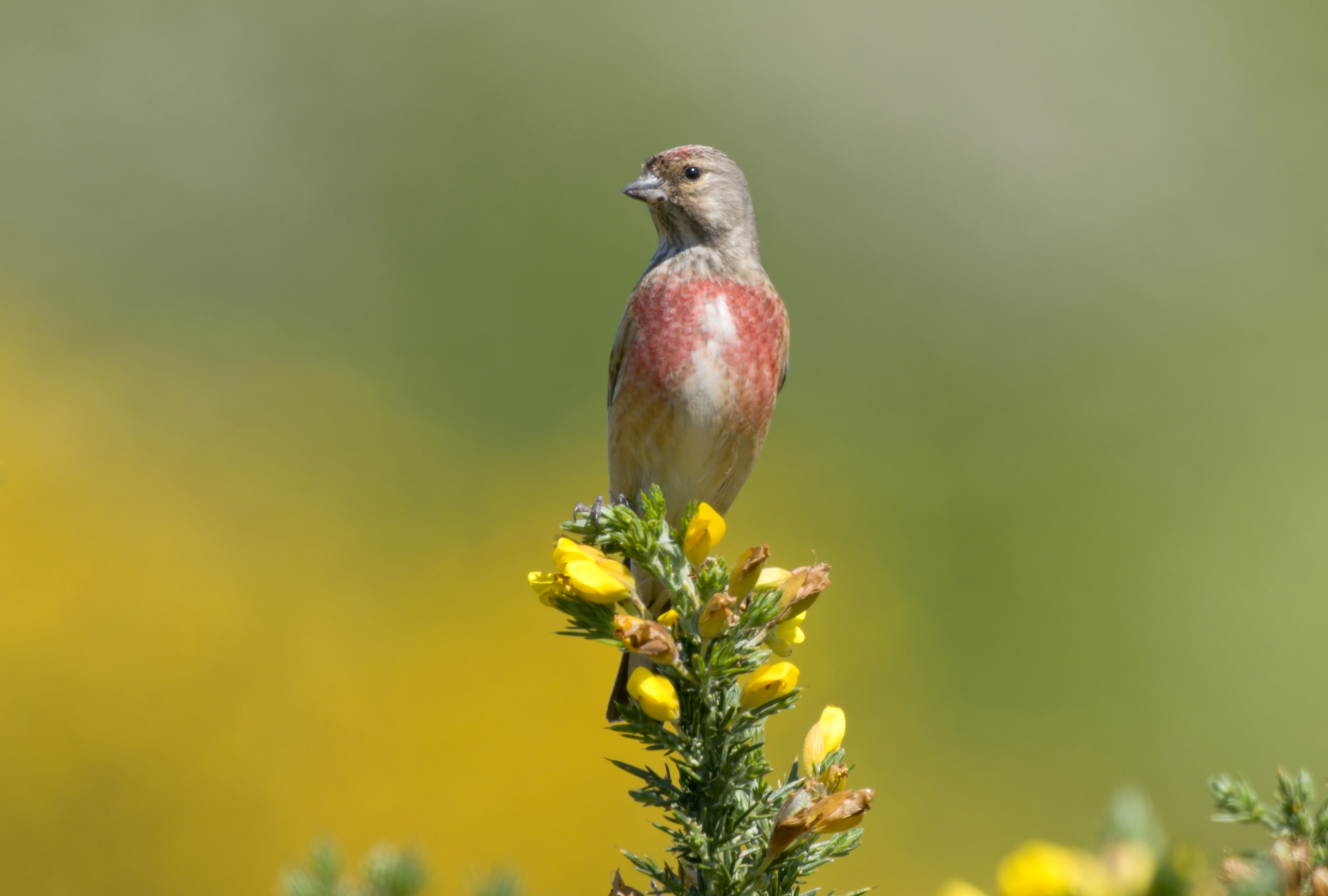 Linnet Conservation Advice For Farmers The Rspb