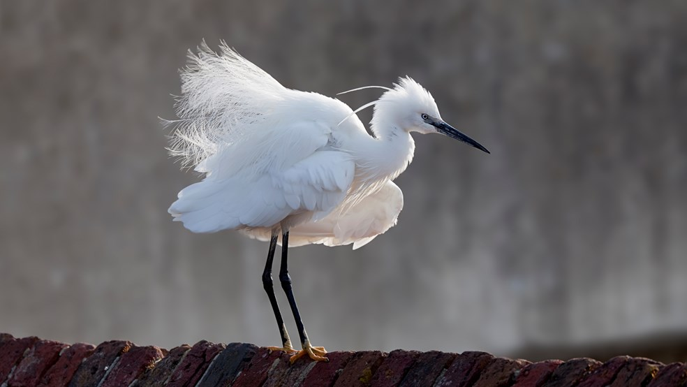 Little egret Egretta garzetta, standing on brick wall with fluffed up feathers, Hampshire