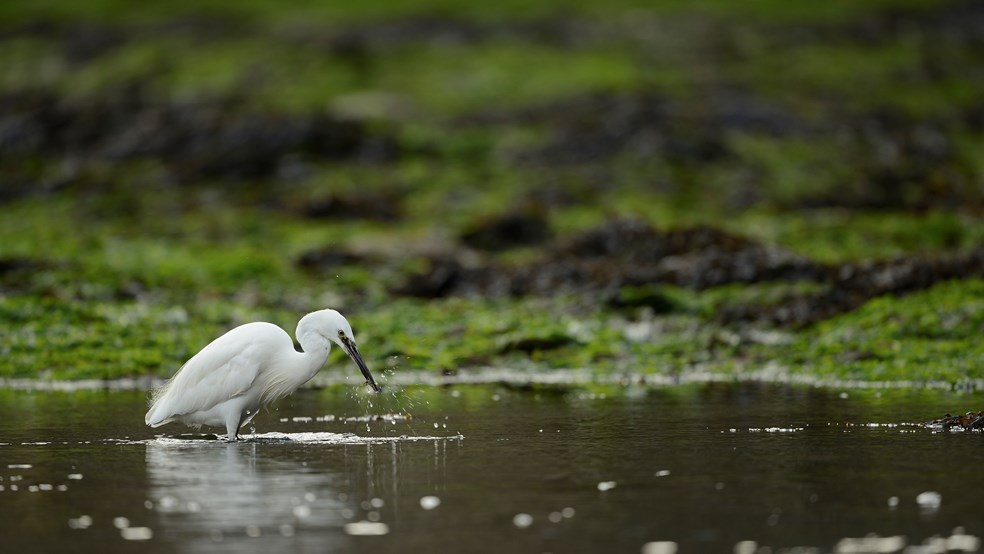Little egret Egretta garzetta, individual fishing in harbour, Looe, Cornwall