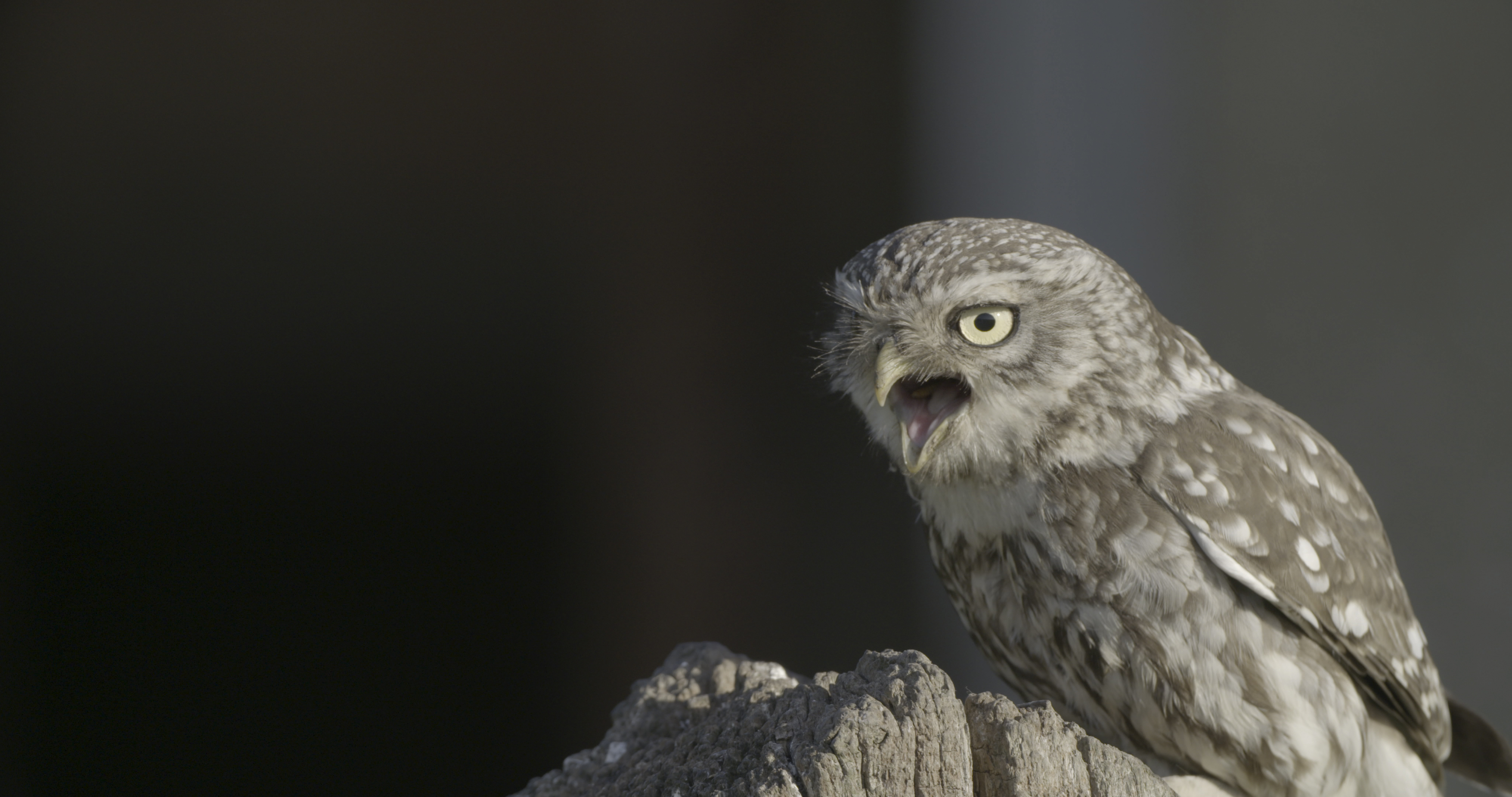jackdaw  stock dove and little owl nest boxes