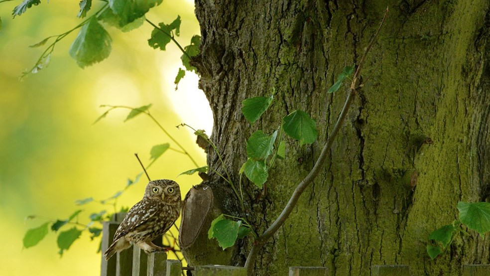Little owl Athene noctua, perched on deer tree guard, London