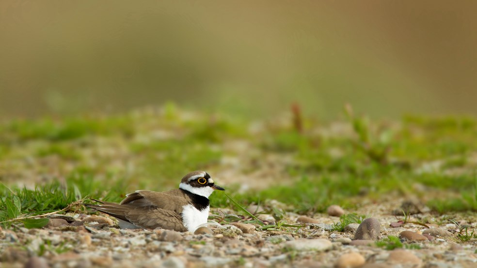 Little ringed plover sitting on nest, Langford Lowfields RSPB reserve, Nottingham