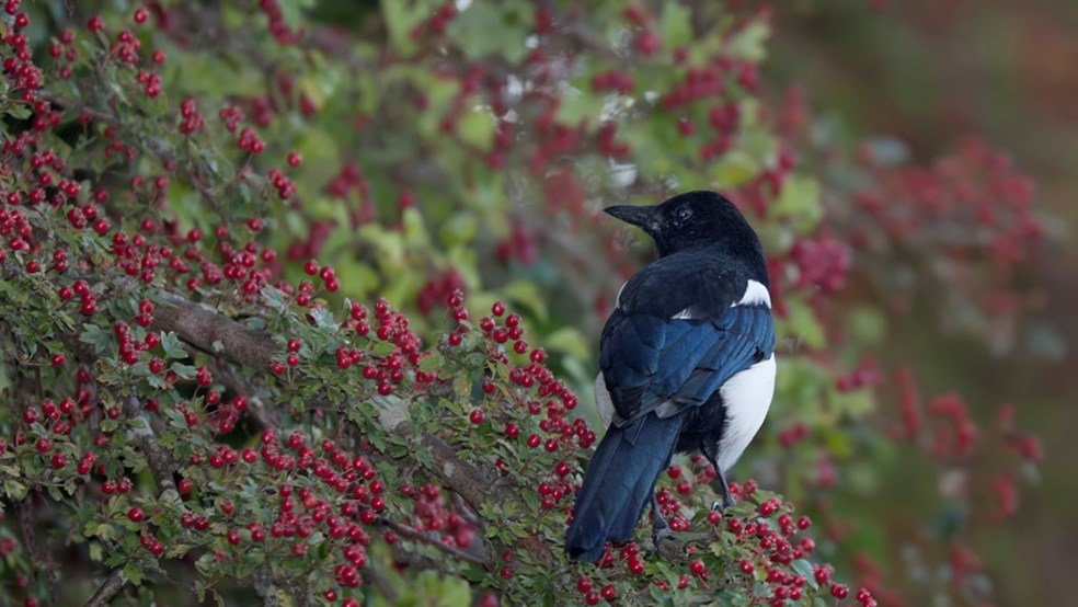 Magpie Pica pica, standing among red berries, Hampshire