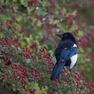 What do magpies eat?