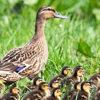 Mallard Duck Facts | Anas Platyrhynchos - The RSPB