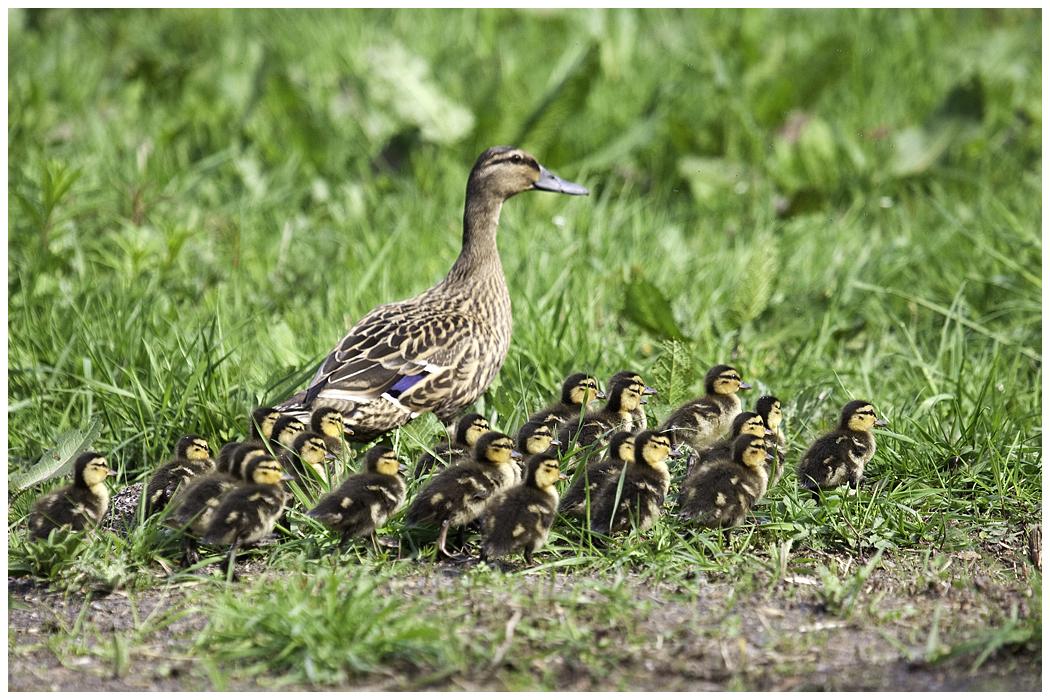 Mallard Ducklings | Nesting Ducks - The RSPB