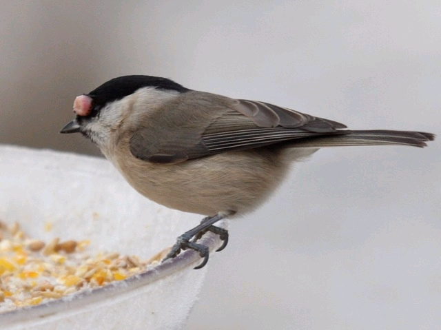 Sick & Injured Birds | Frequently Asked Questions - The RSPB