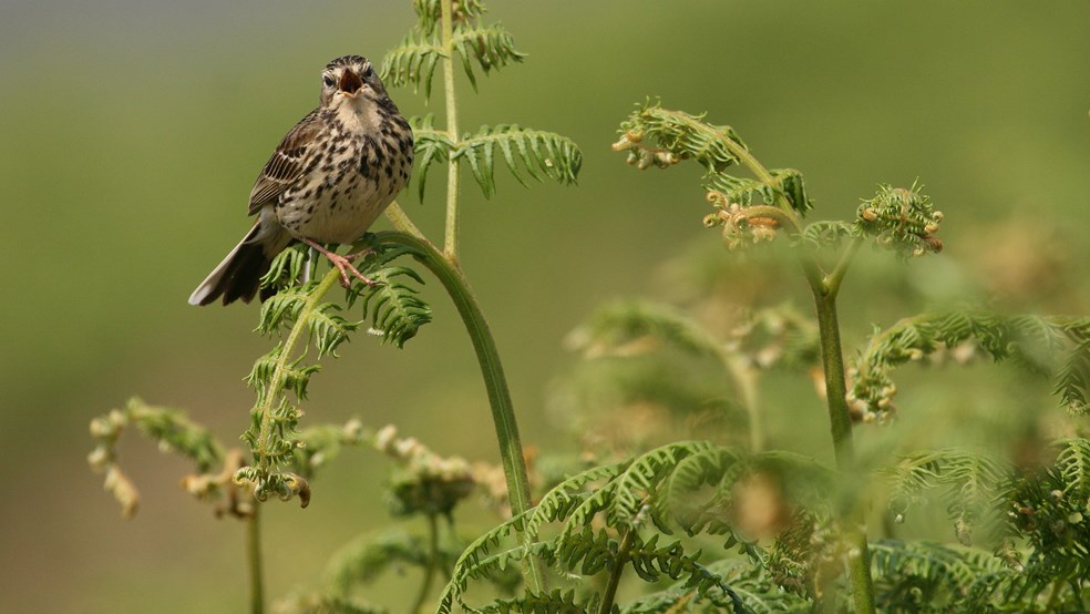 Meadow pipit Anthus pratensis, adult perched on bracken singing, Isle of Tiree, Scotland