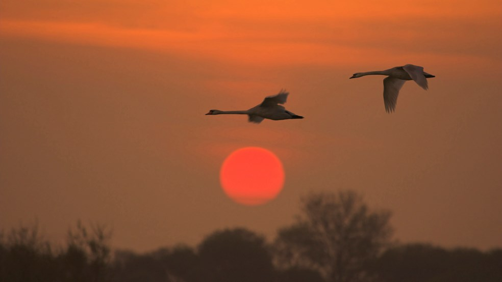 Mute swans Cygnus olor, pair in flight against the rising sun, Dungeness RSPB reserve