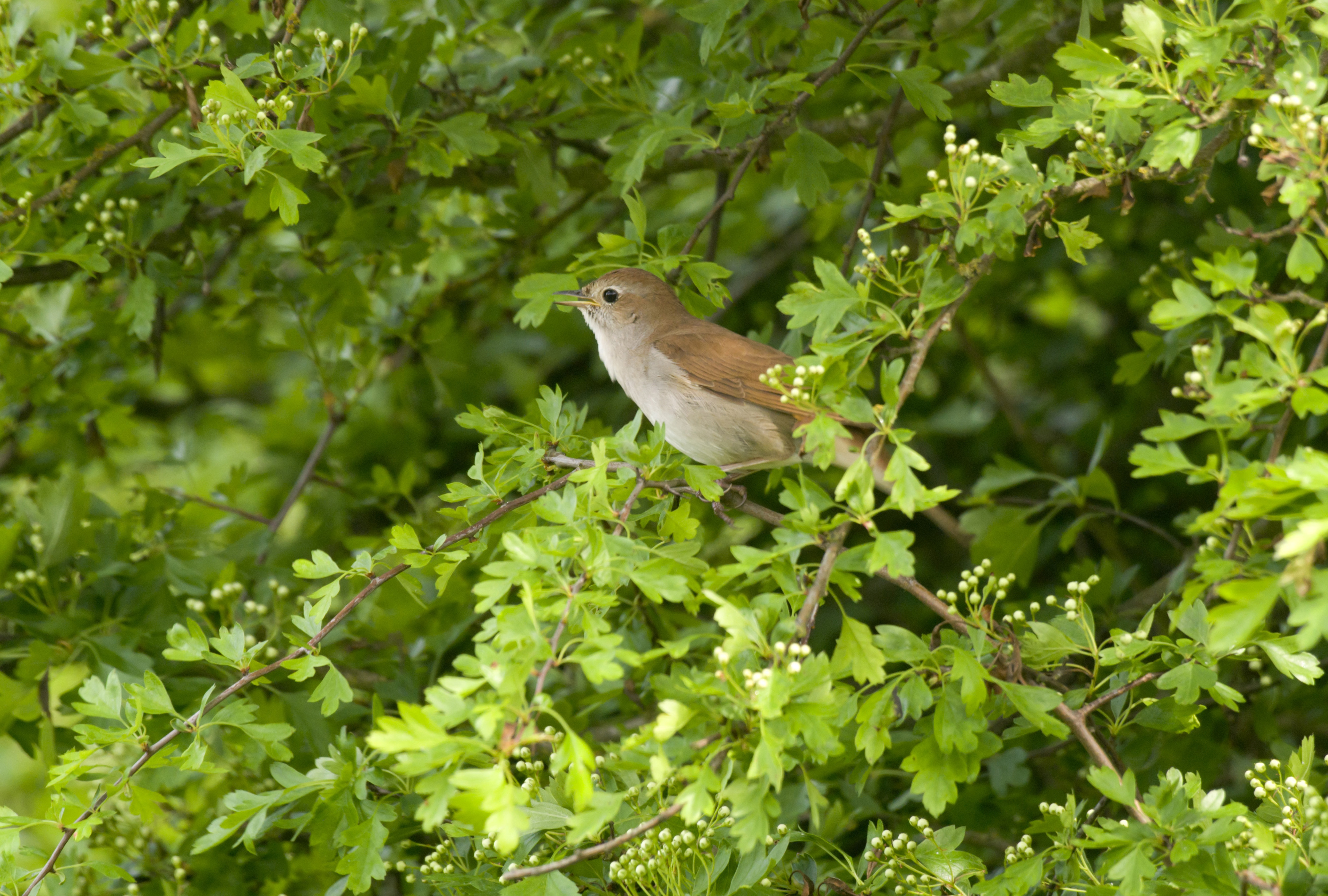 save lodge hill and its nightingales
