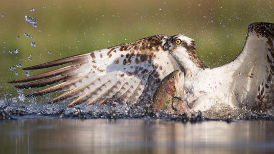 Aberfoyle ospreys