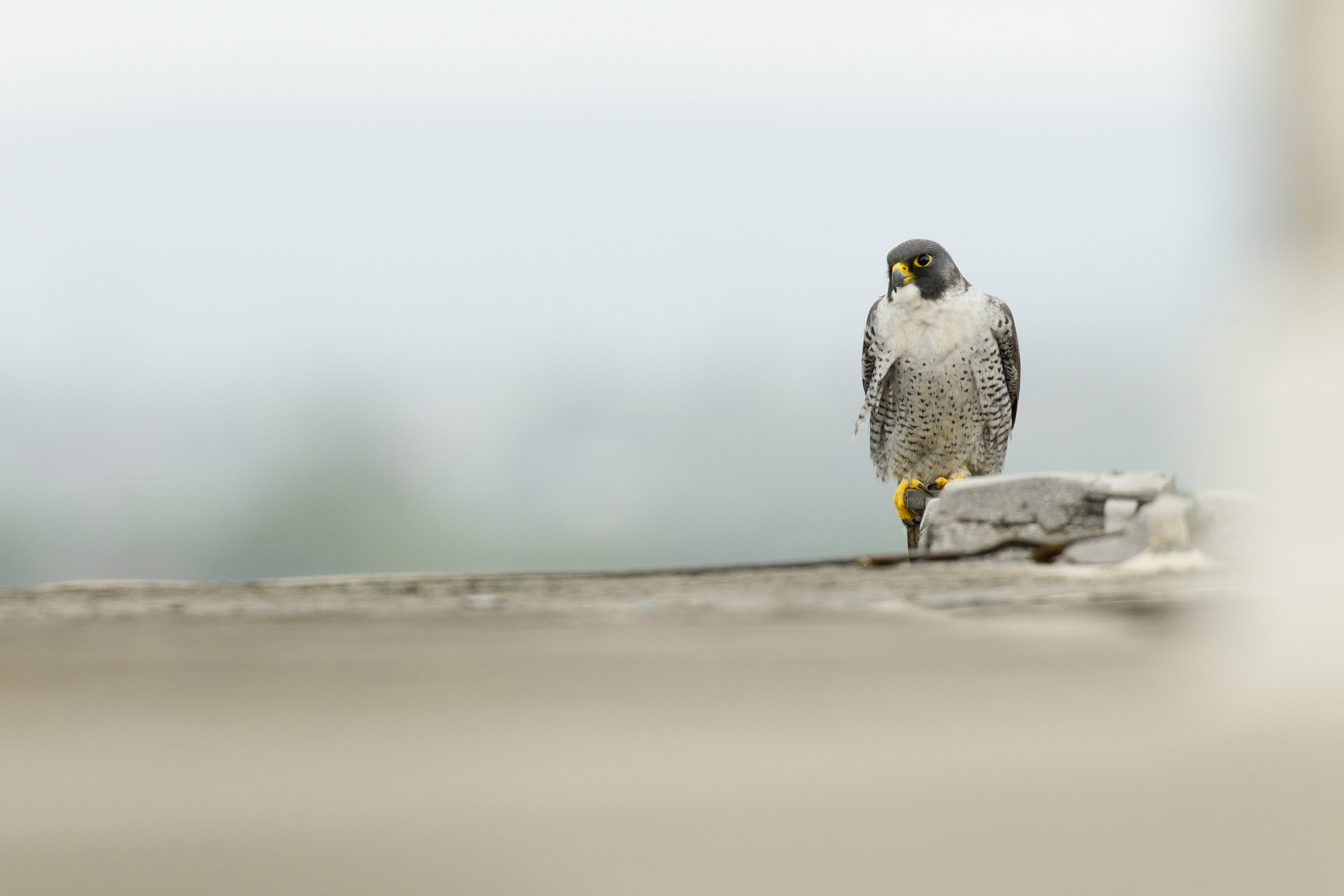 Peregrine Falcon Identification, All About Birds, Cornell Lab of ...