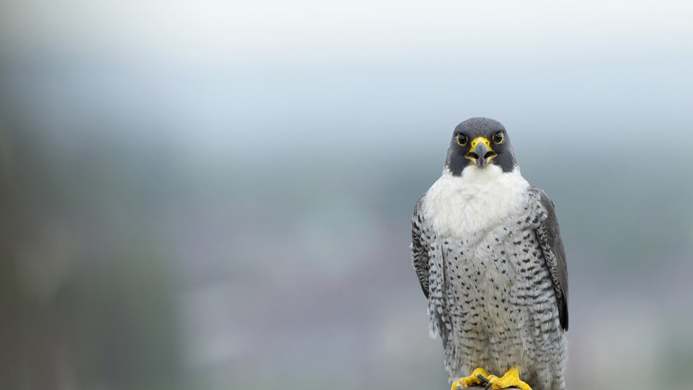 Peregrine perching on building