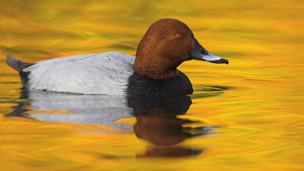 Pochard Aythya ferina, swimming with autumn reflections, Martin Mere Wildfowl and Wetlands Trust, Lancashire