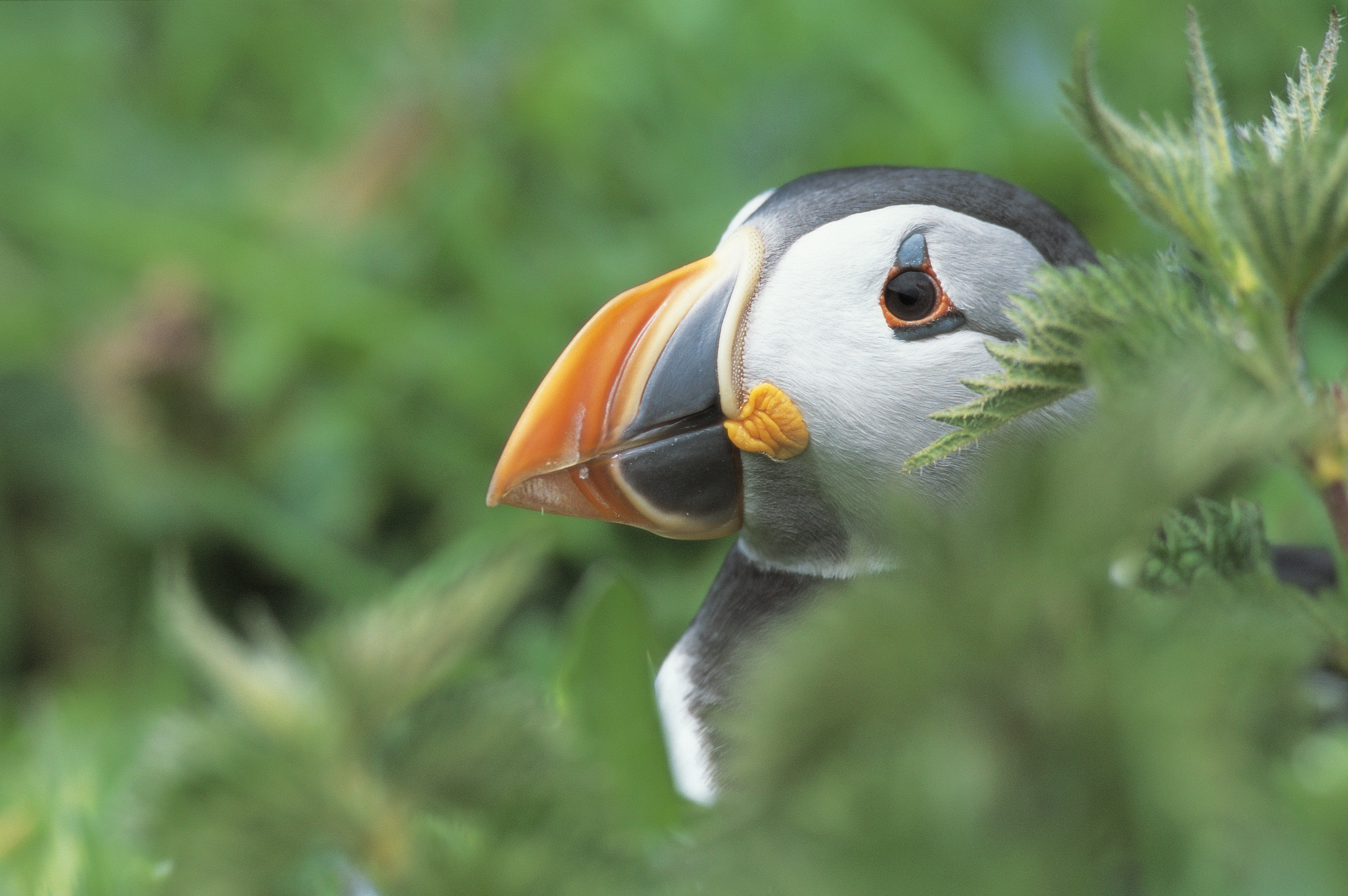 rspb news top three tips for the perfect puffin photo