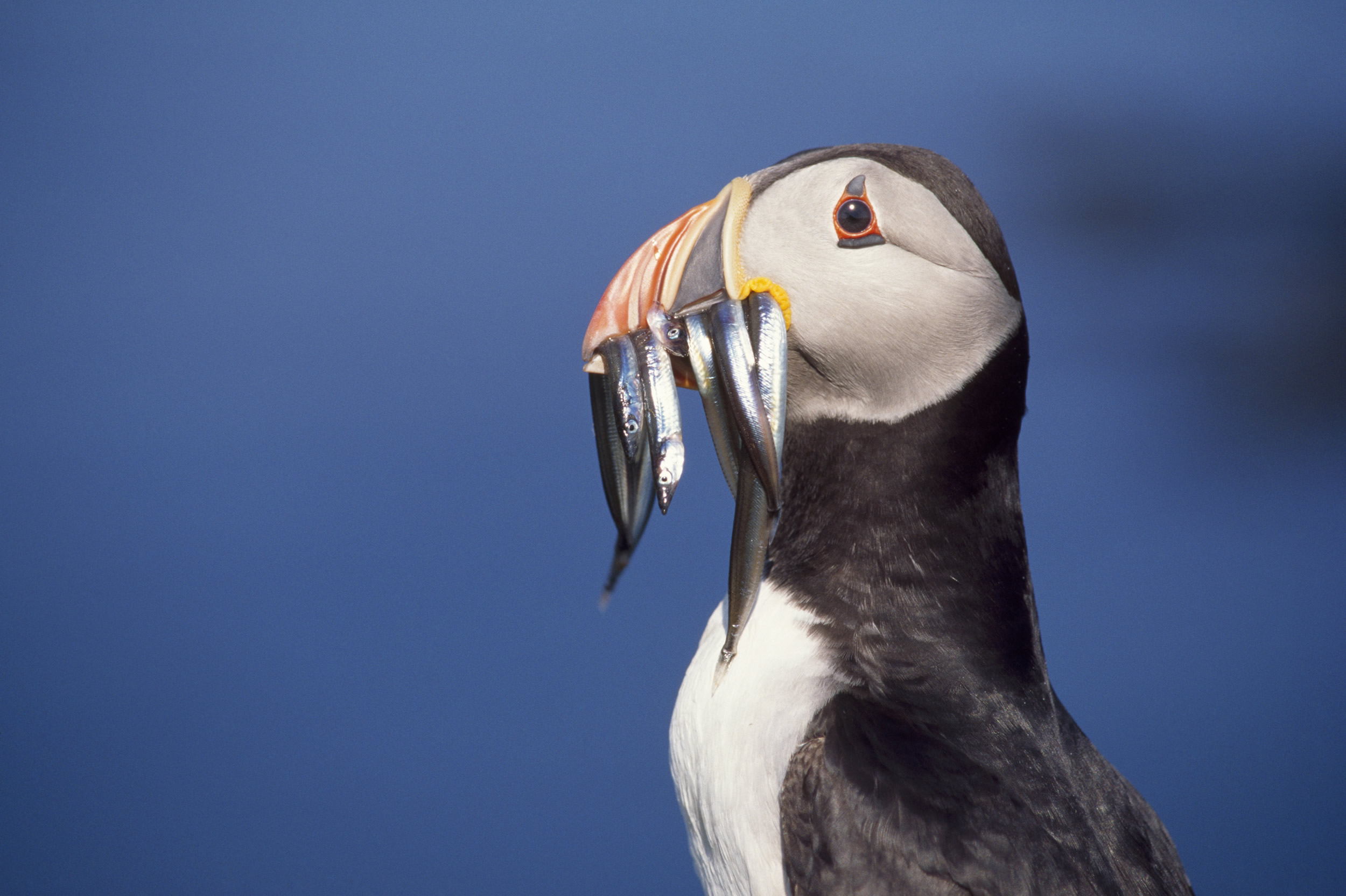 adopt a puffin the rspb