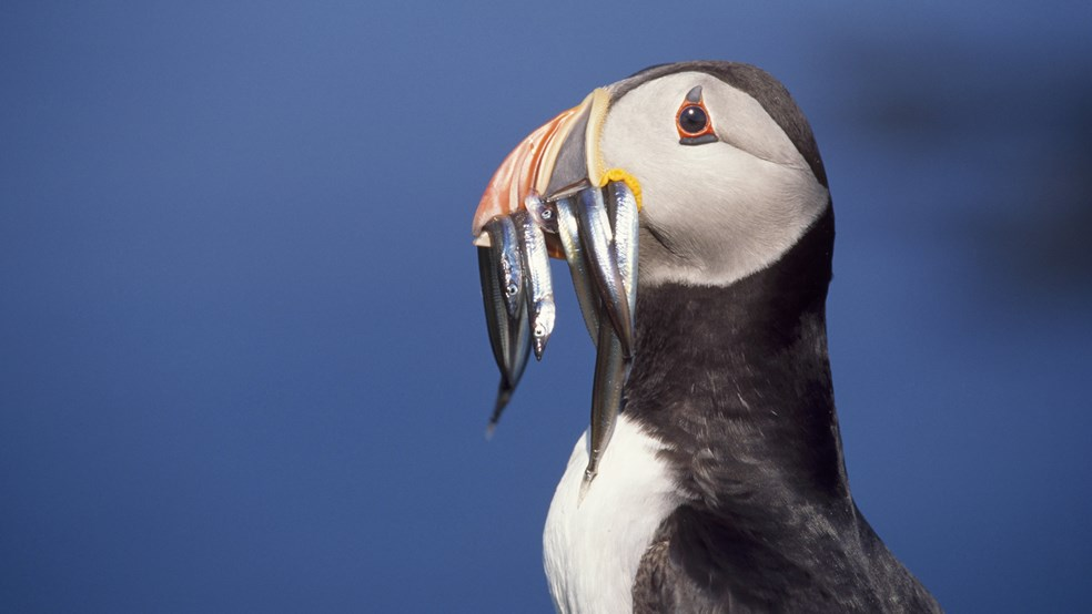Birds, Puffin, close up with sandeels