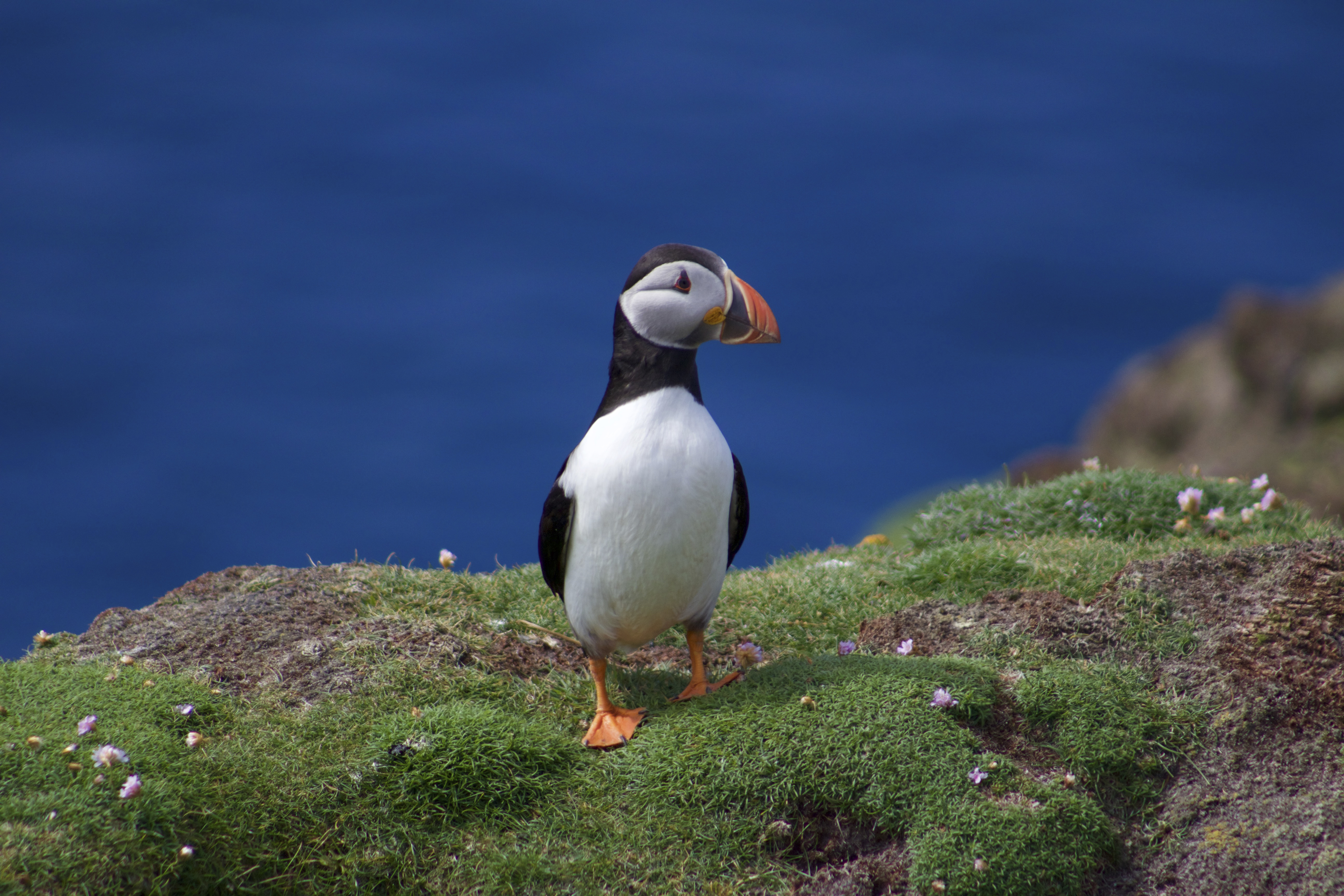 global extinction appeal save the puffins u0026 turtle doves the rspb