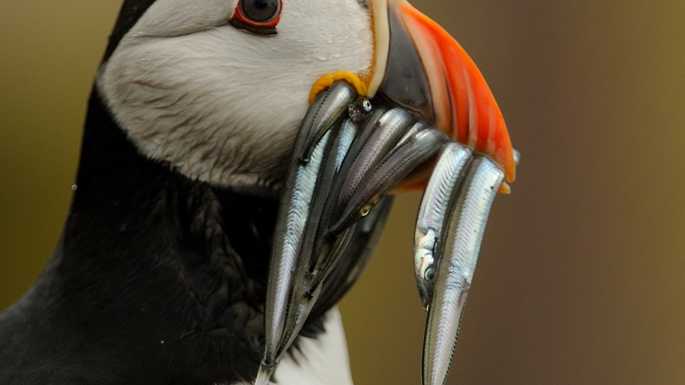 A puffin with fish in its beak