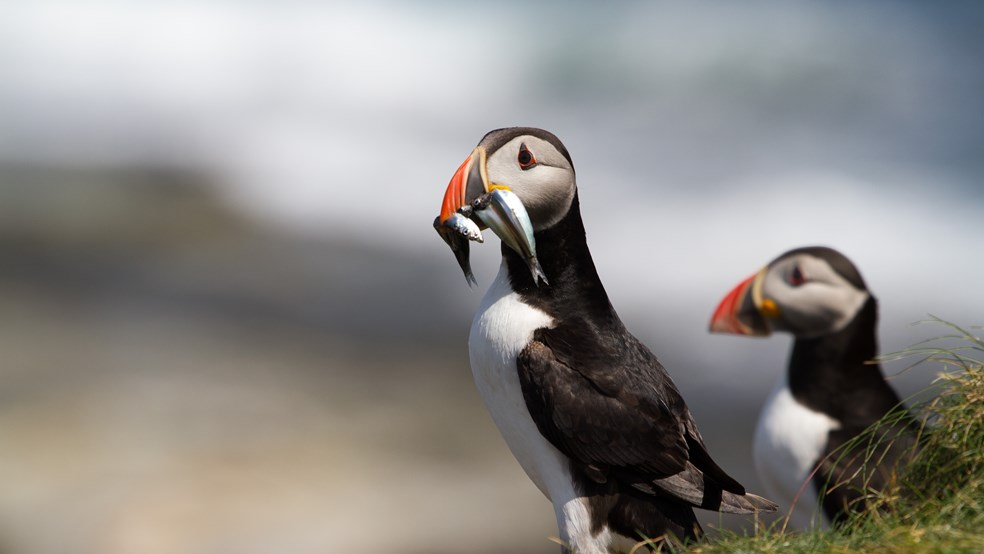 A puffin feeding - with fish in it's mouth.