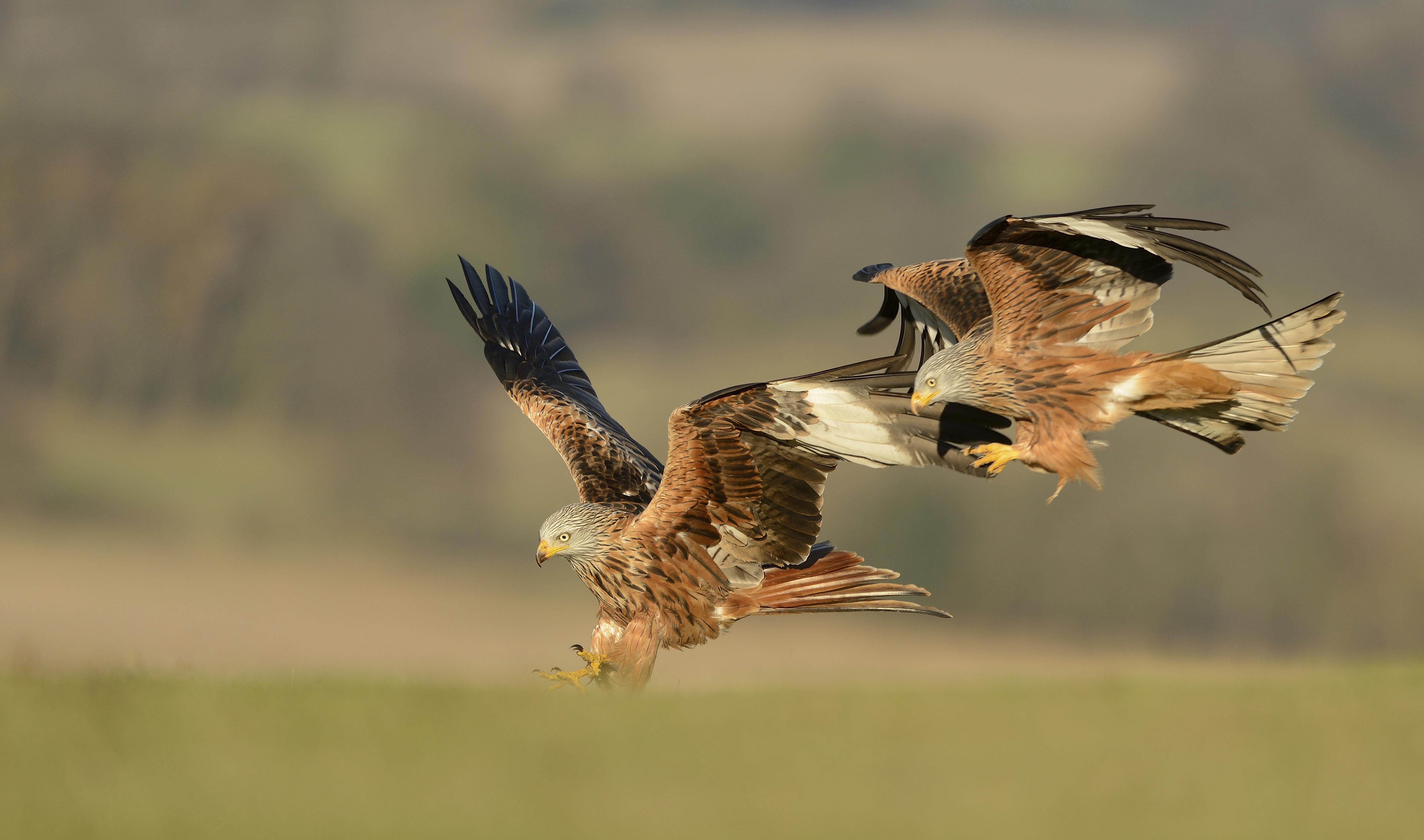 Red Kite Bird Facts | Milvus Milvus - The RSPB