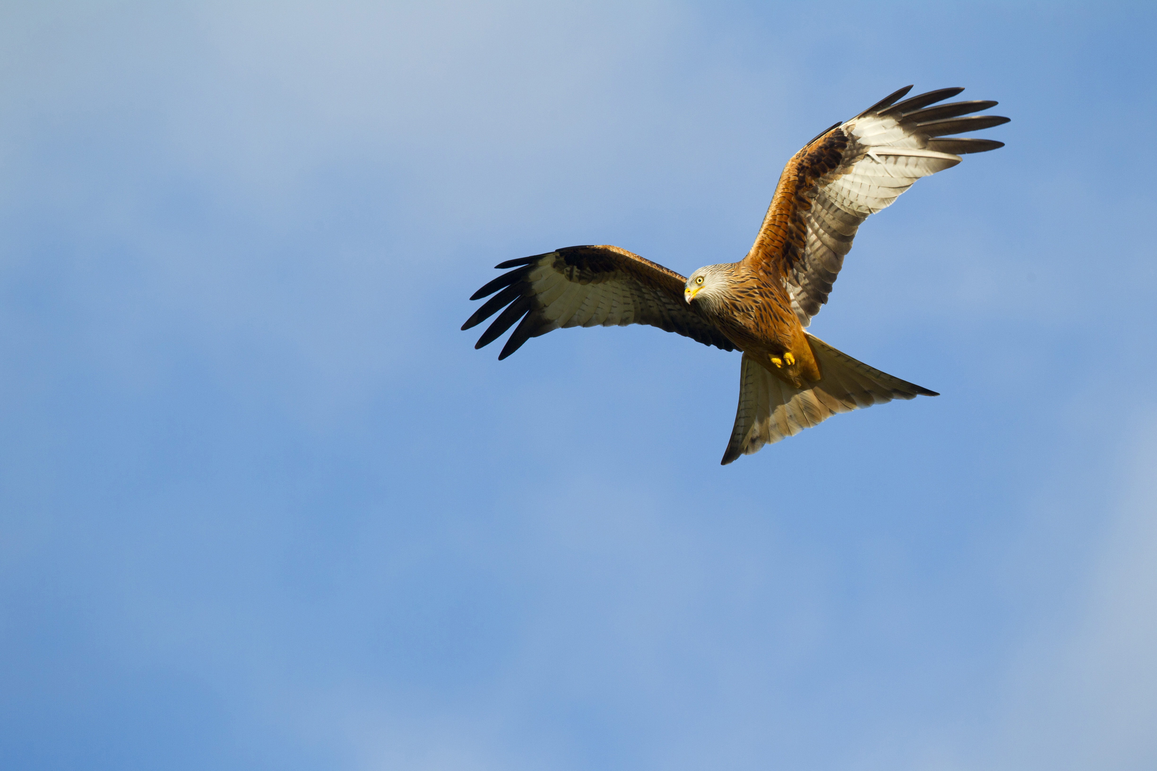 2017 08 22 red kite found dead in county down
