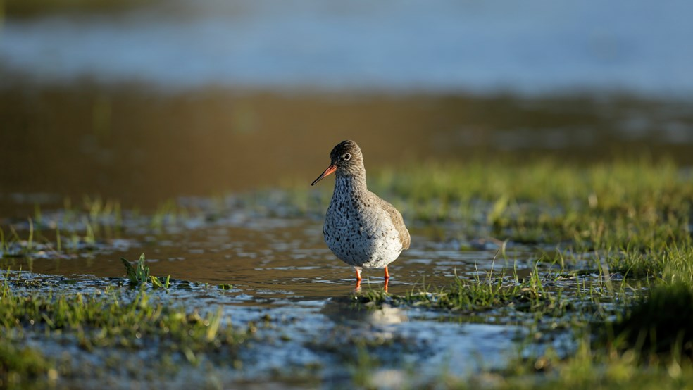 Redshank Tringa totanus, in breeding plumage, Geltsdale RSPB reserve, Cumbria,