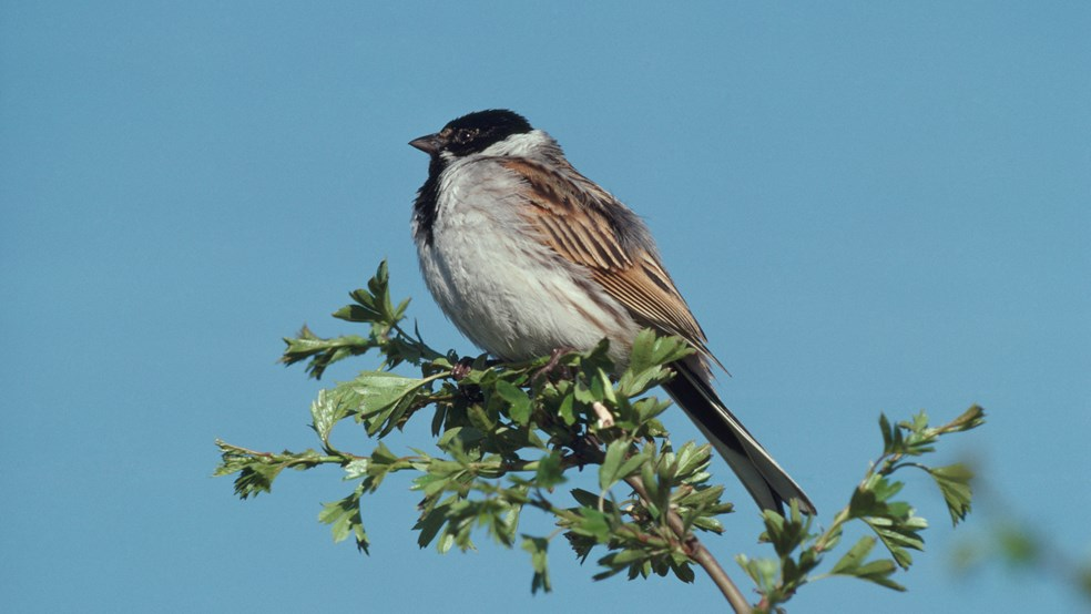 Reed bunting perched on a branch