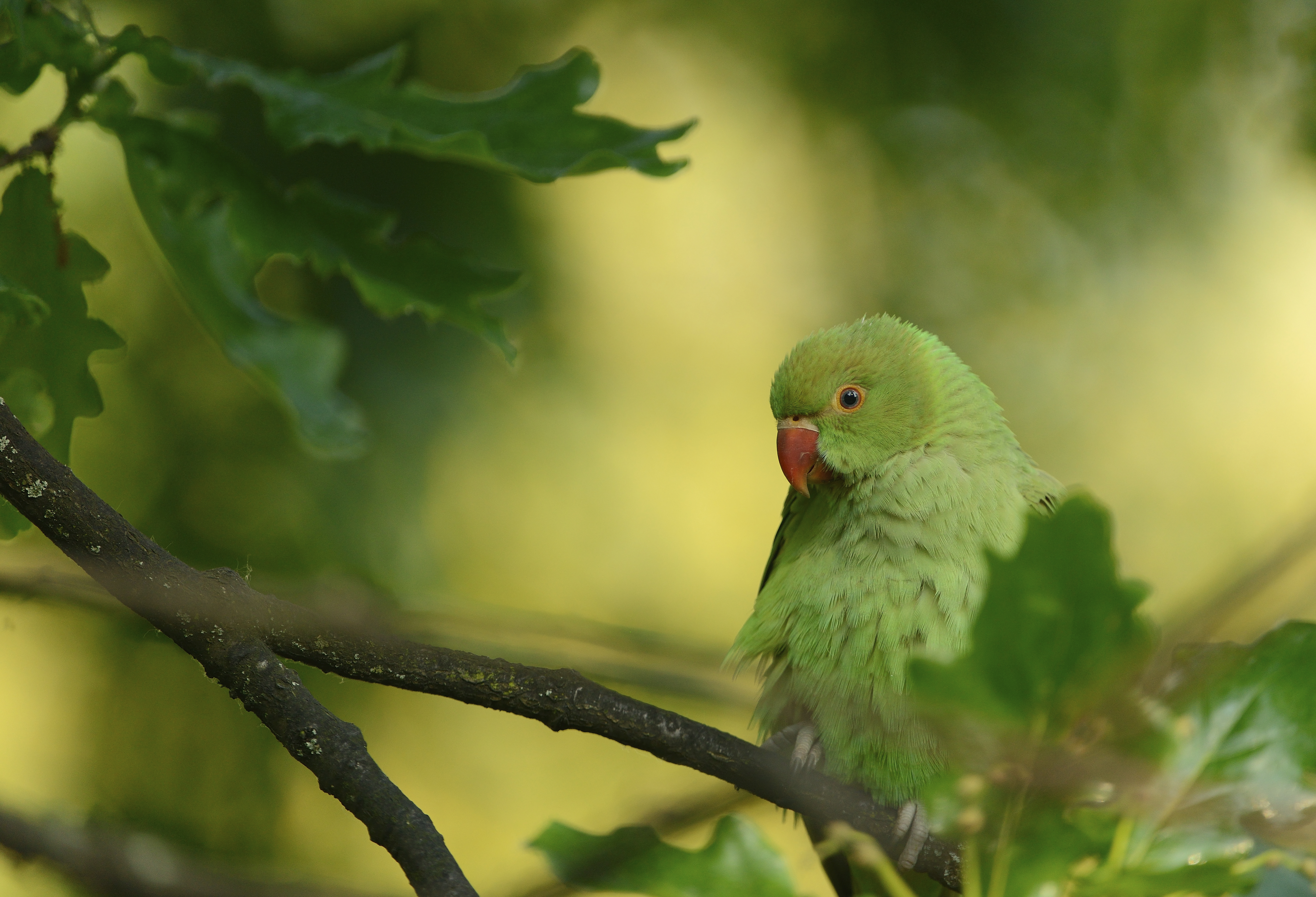 Parrots   Ring Necked Parakeet   Bird Family Overview - The RSPB