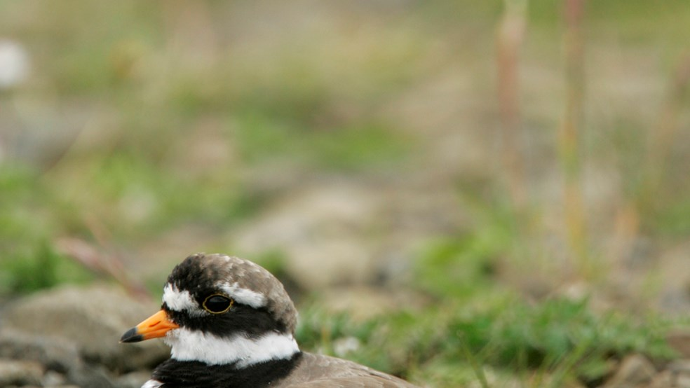 Ringed plover, Charadrius hiaticula, adult nesting on stony ground. Orkney, Scotland