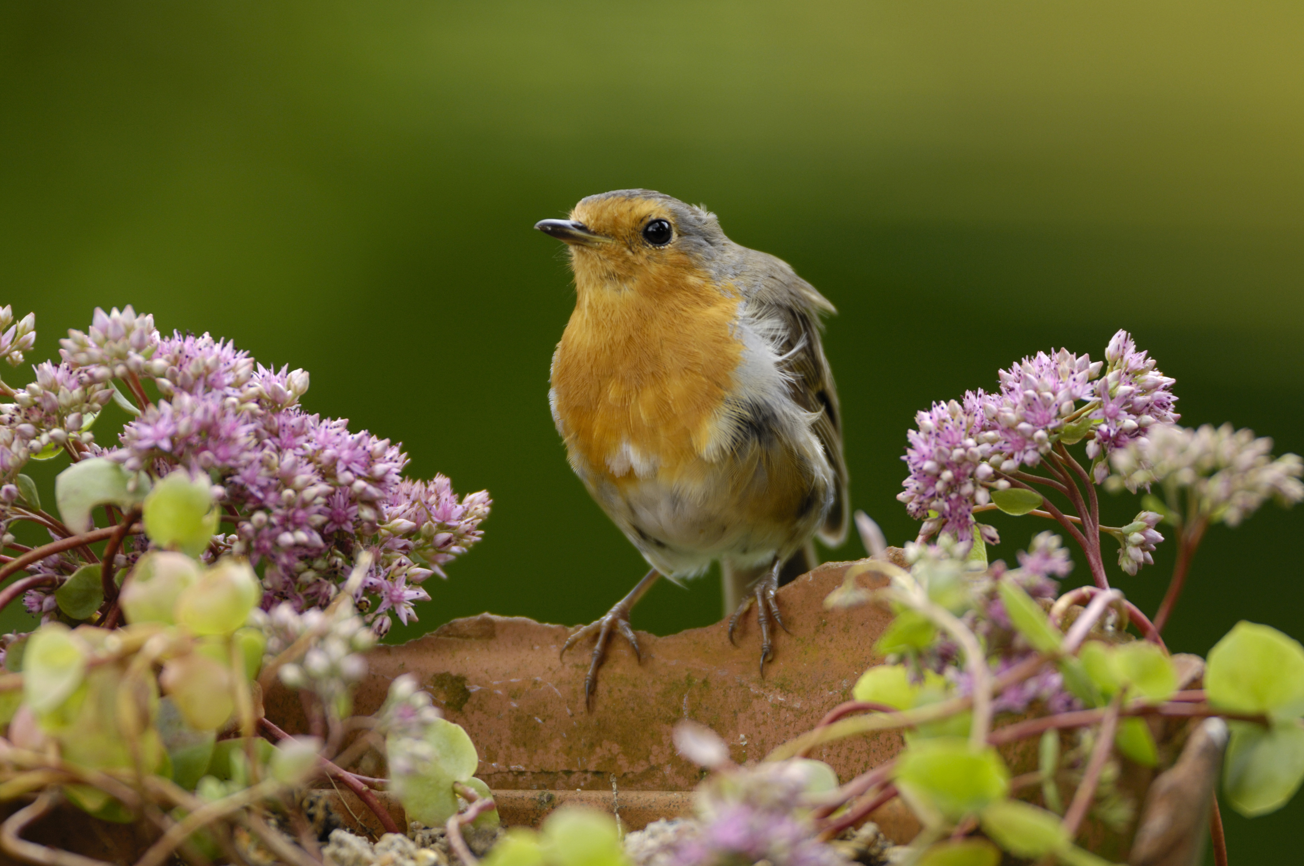 About Robins | Learn About Birds - The RSPB
