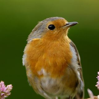 Robin redbreast song