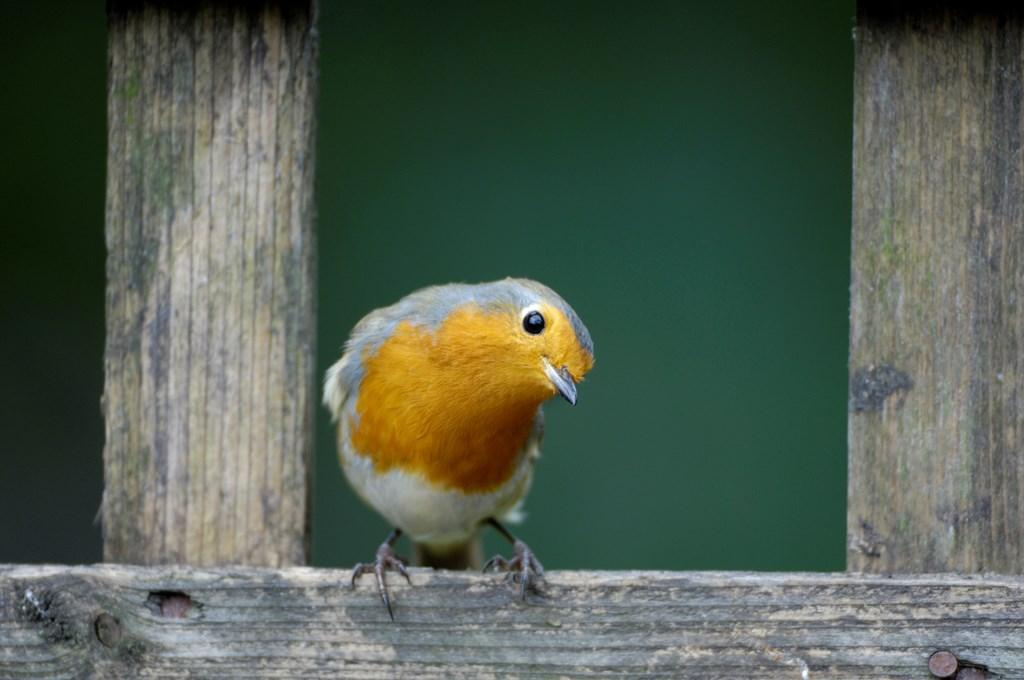 robin nesting  u0026 breeding habits