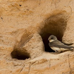 Sand martin Riparia riparia, perched at entrance to nest, Langford Lowfields RSPB reserve, Nottingham