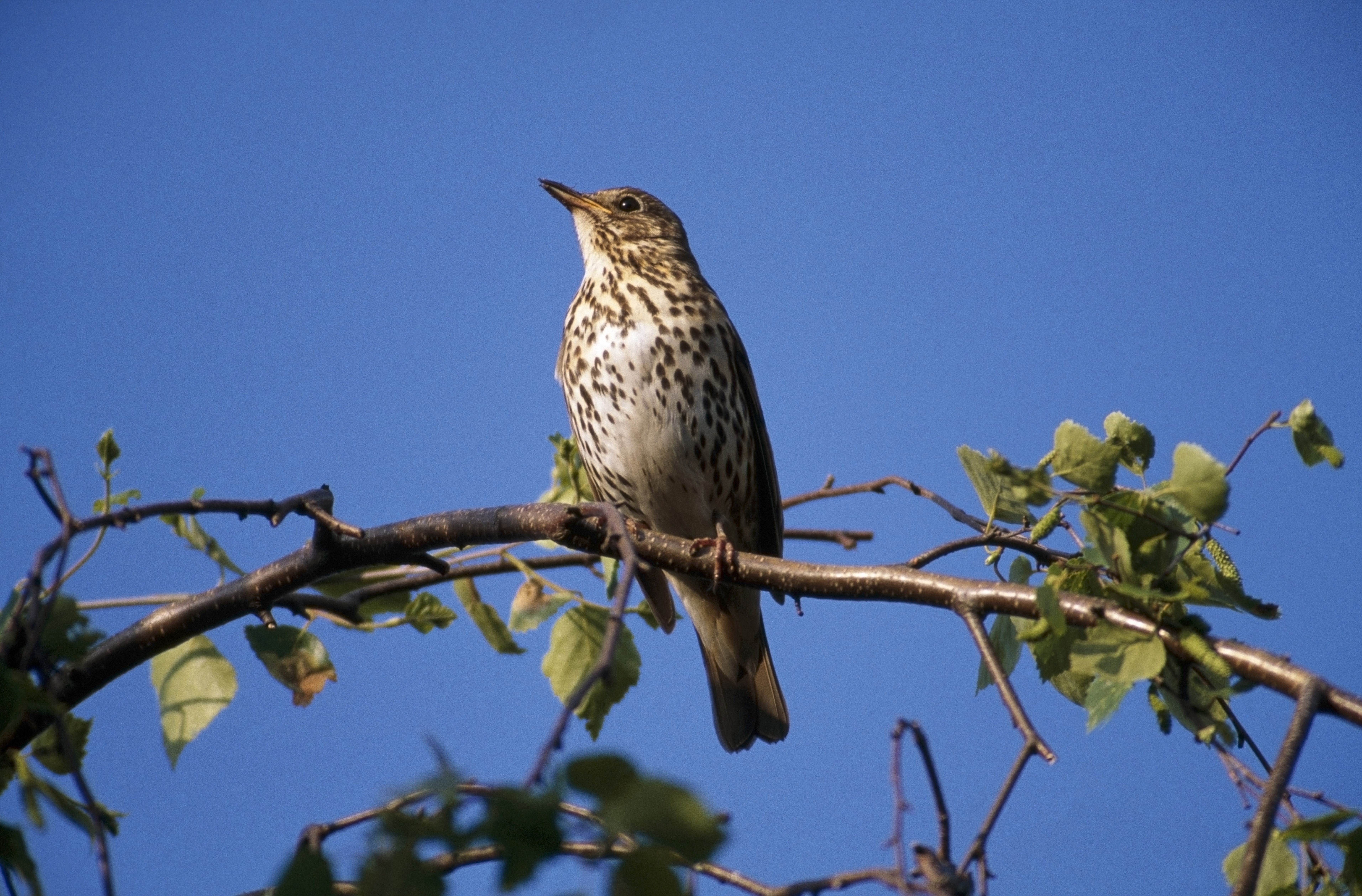 Song Thrush Nesting And Breeding Habits The Rspb