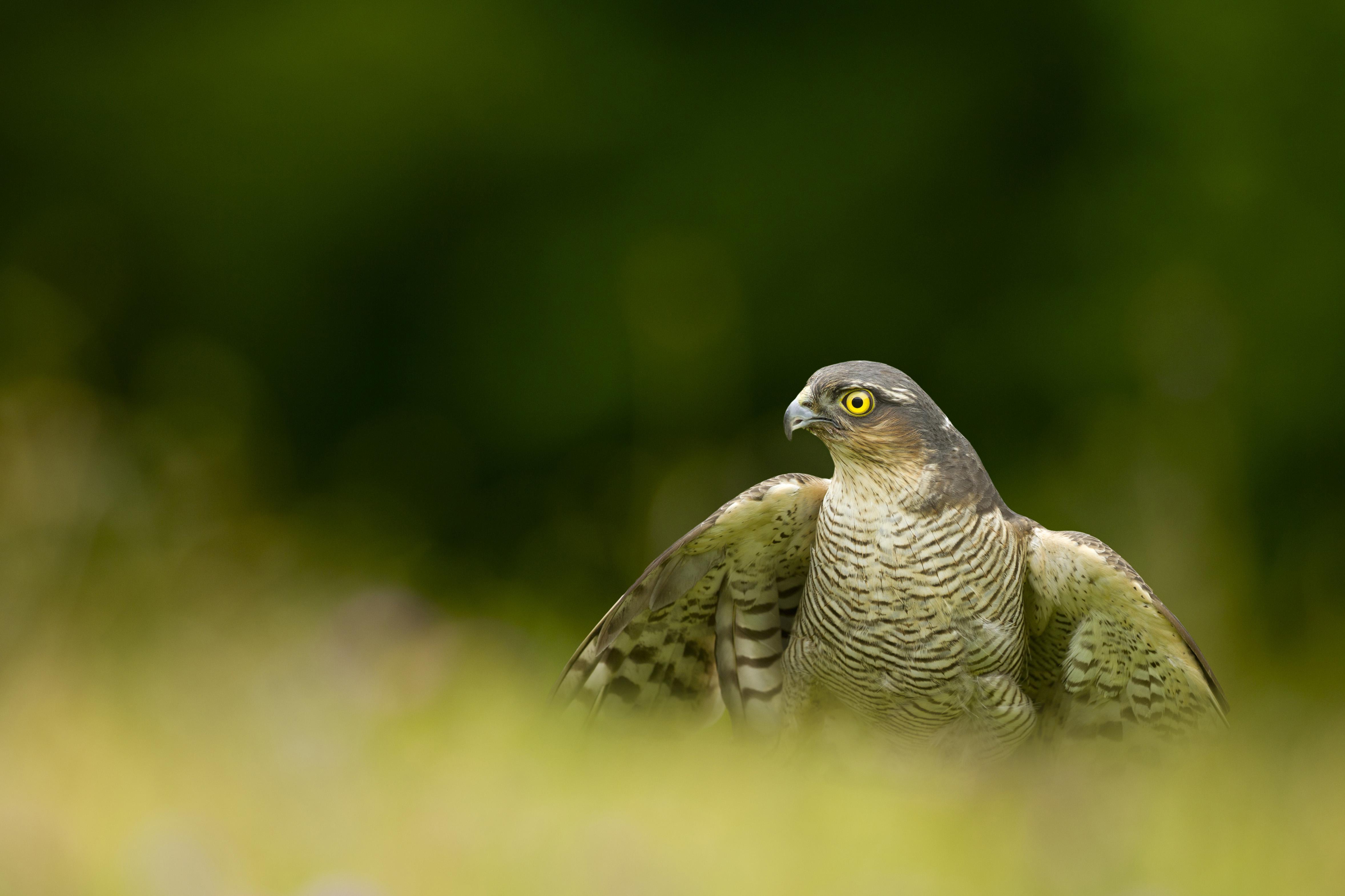Baby sparrow hawk - photo#40