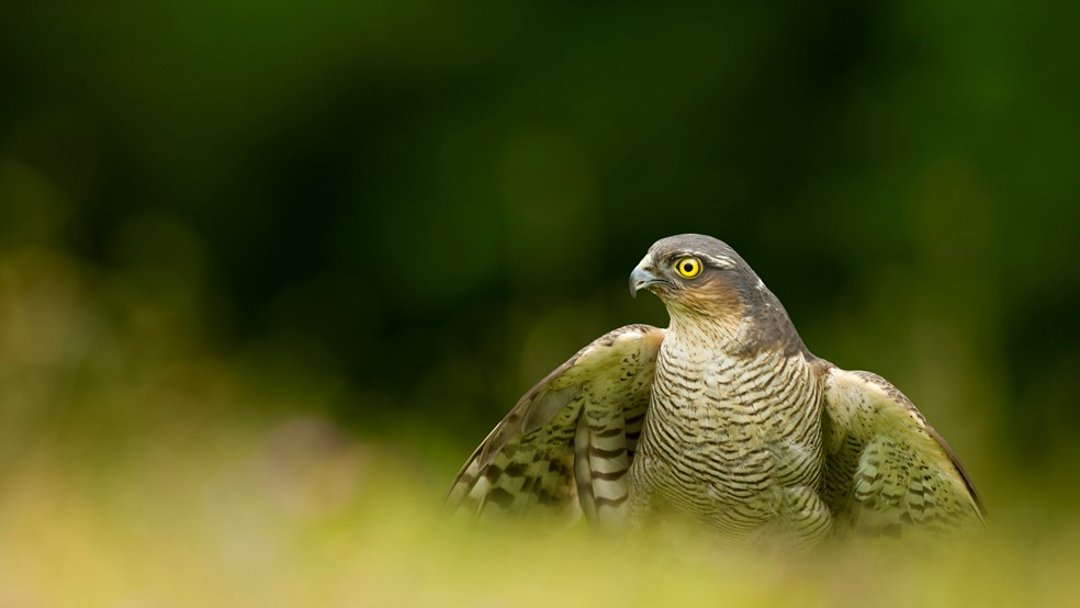 Sparrowhawk, Accipter nissus, in long grass, Cheshire