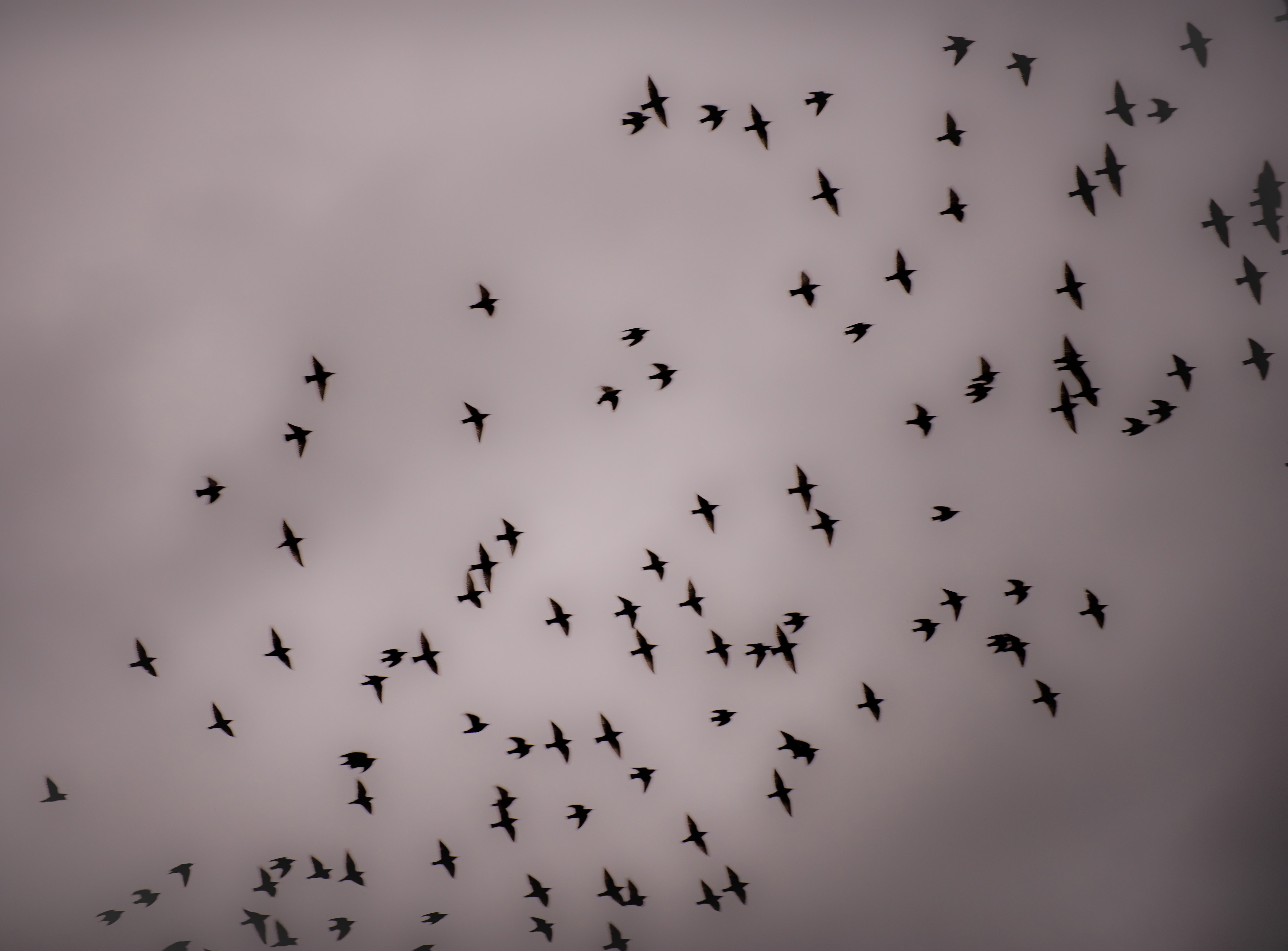 Starling Murmuration | Starling Flocks and Roosting - The RSPB