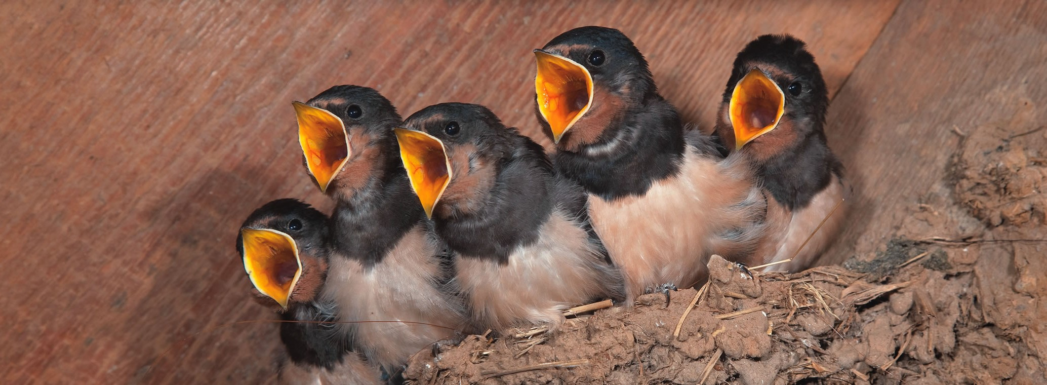 attracting swallows to nest sites in outbuildings