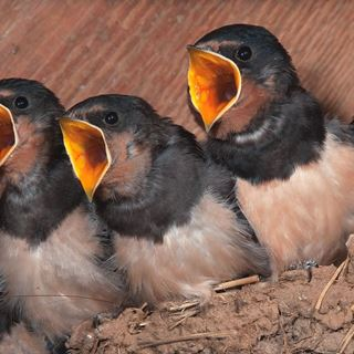 Attracting swallows to nest