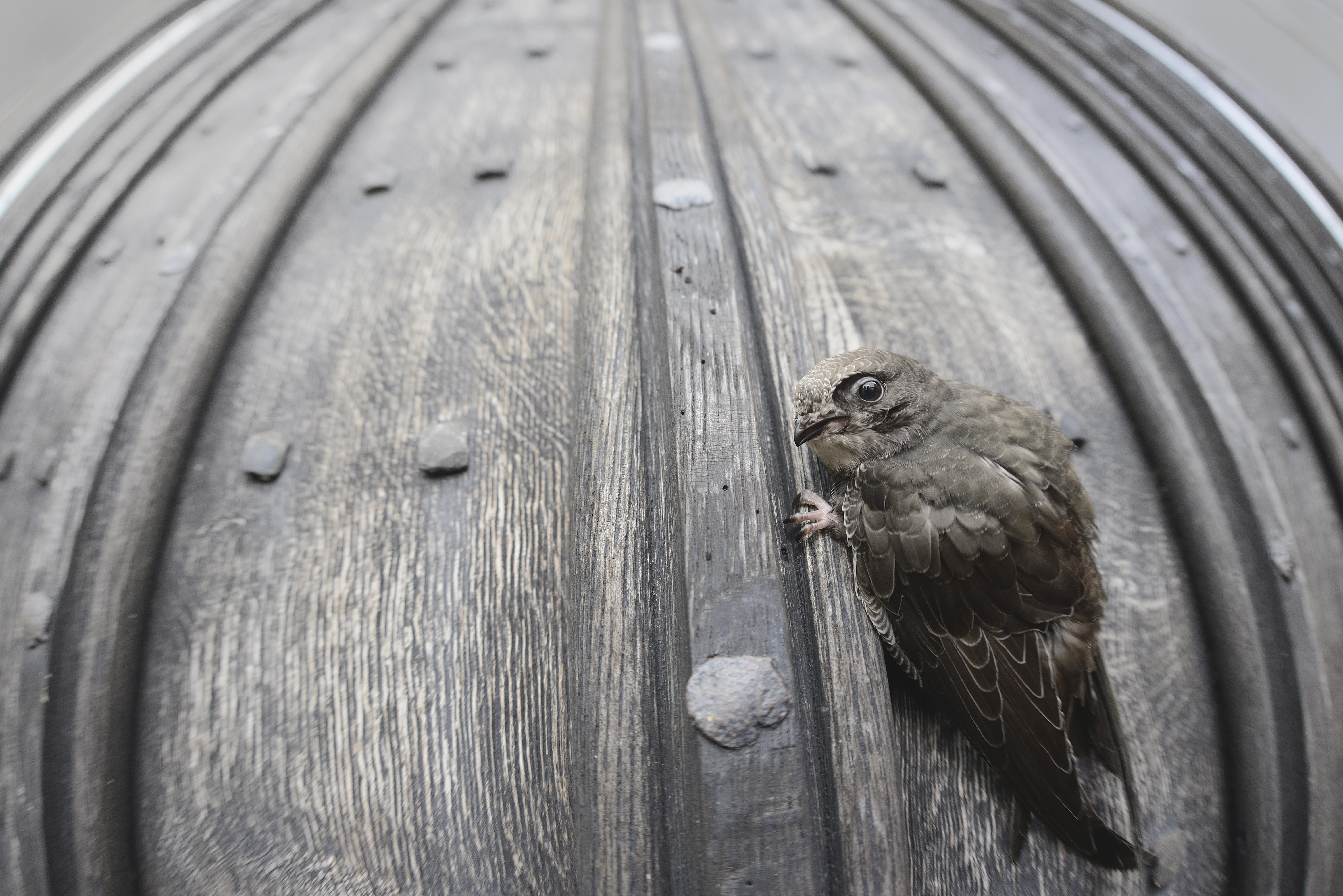 Swift Bird Facts | Apus Apus - The RSPB