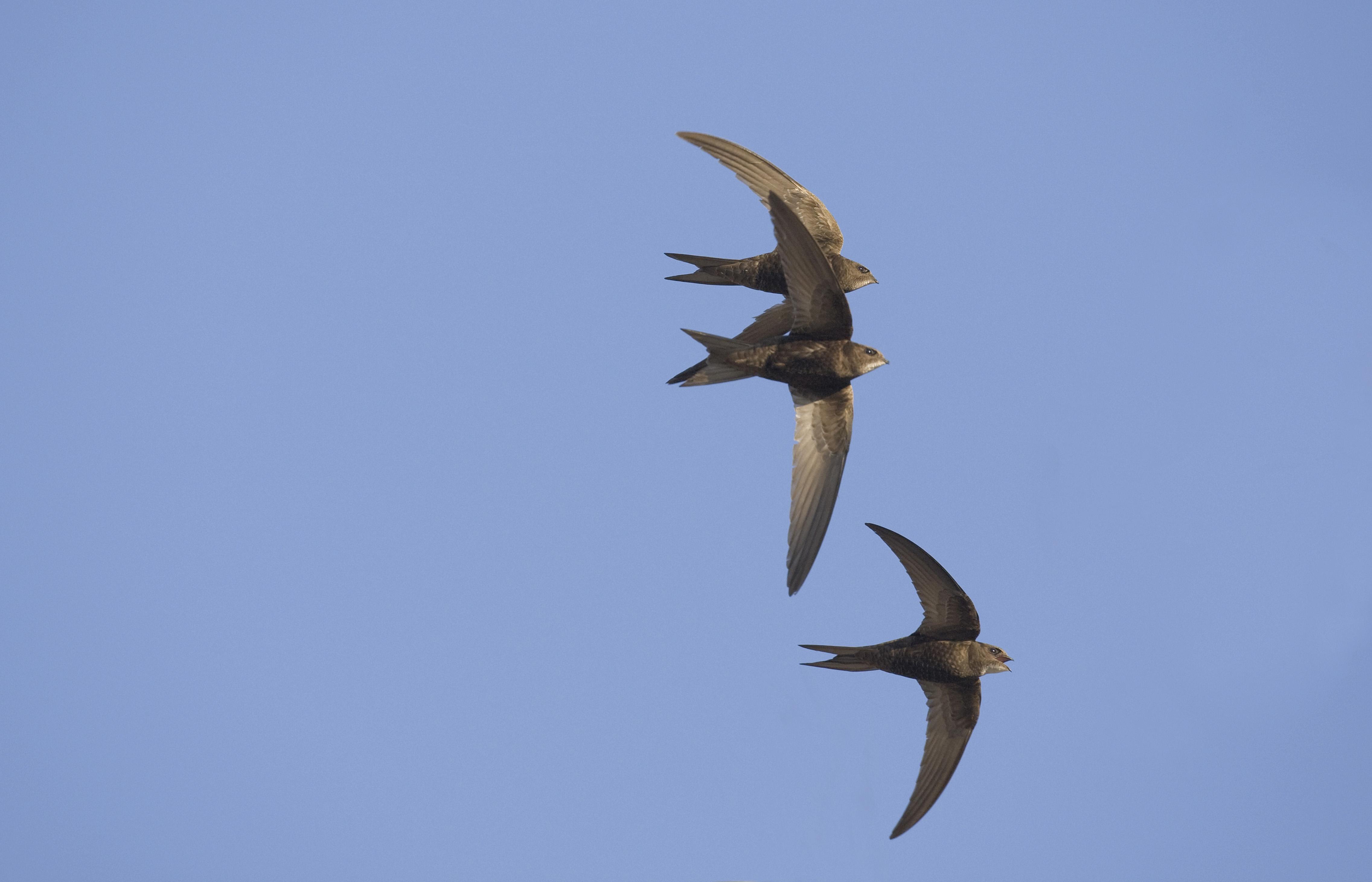 swift bird conservation project