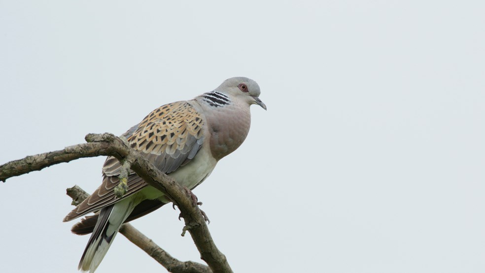 Turtle dove Streptopelia turtur, adult perched in tree top, Fowlmere RSPB reserve,