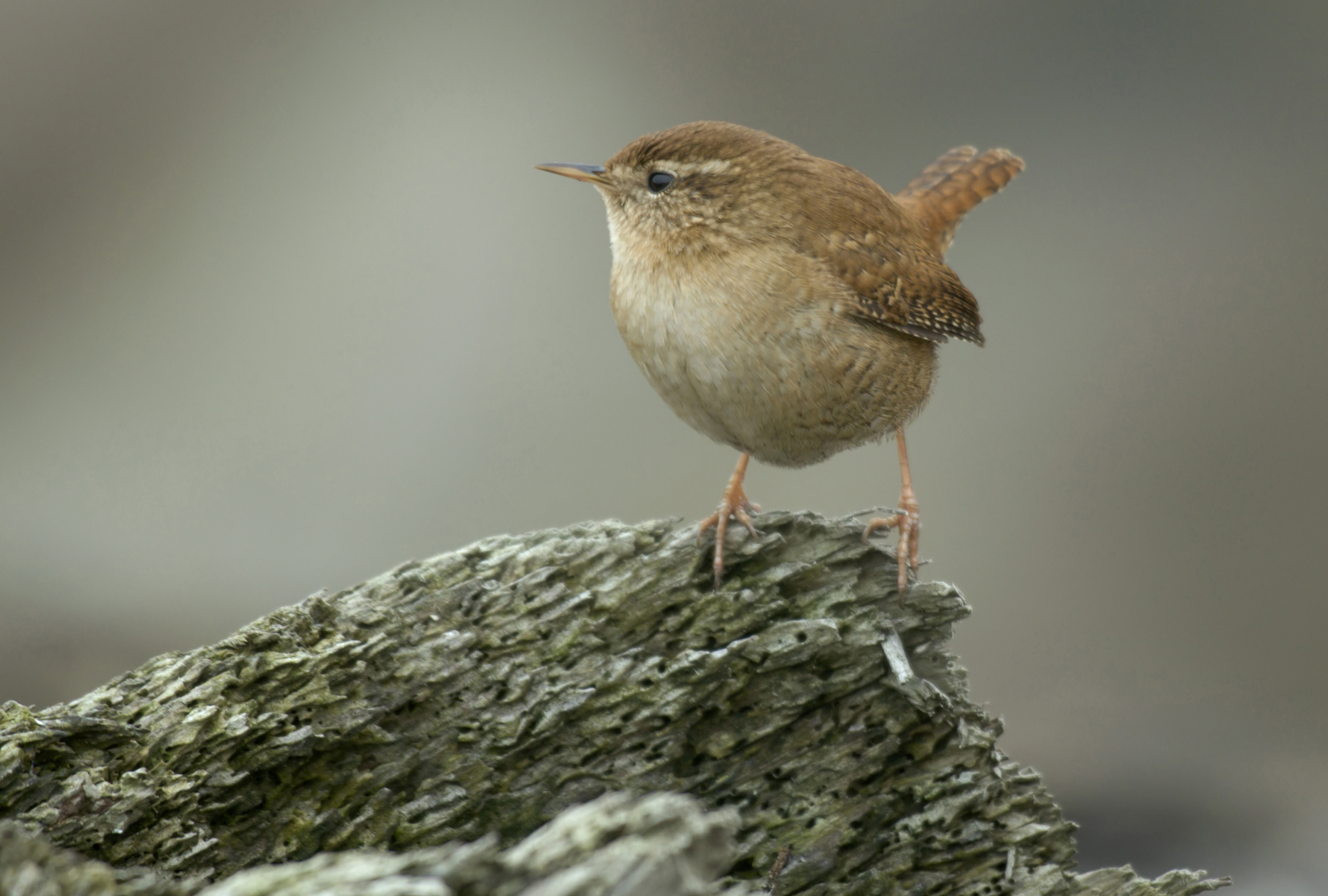 Types of Wrens | Bird Family Overview - The RSPB